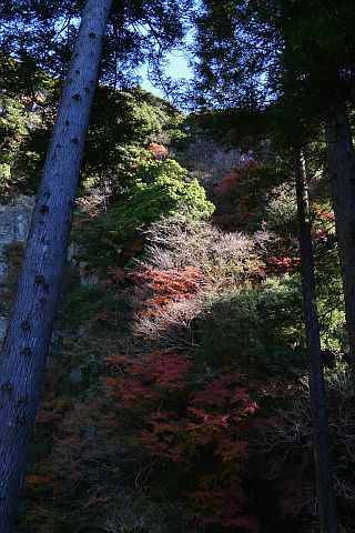 7m Colored Leaves 2010(3) P1020121-2.jpg
