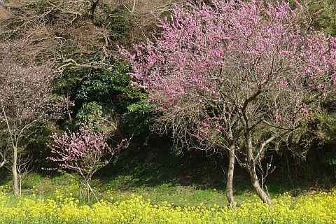 春色のページから 4m P1020501-2.jpg