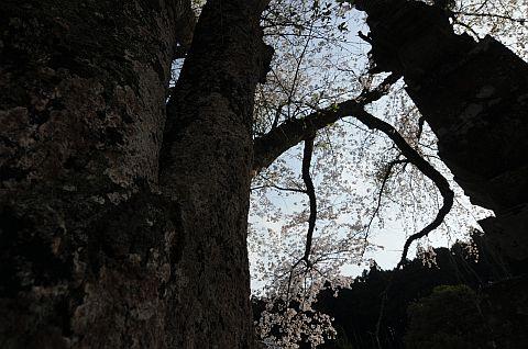 桜花通信 2011 3m DSC_7465-2-c.jpg