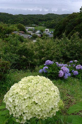 紫・陽・花 20111 4m P1030017-2-c.jpg