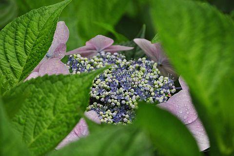紫・陽・花 2011 2m DSC_4663-2.jpg