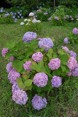 紫・陽・花 2011 6m P1030013-2-c.jpg
