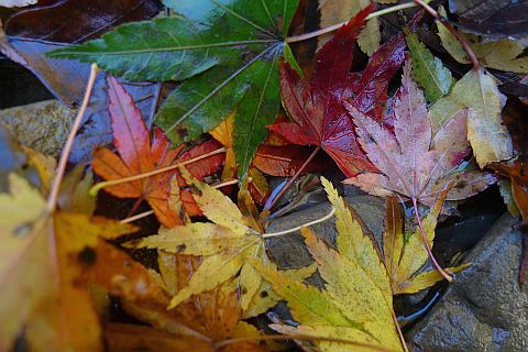 4m Colored Leaves 2010(3) P1020101-2.jpg