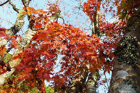 Colored Leaves 2010 2-2m P1010361-2.jpg