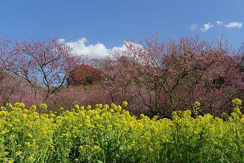 春色のページから 6m P1020490-2-c.jpg