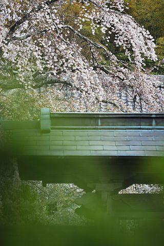 桜花通信 2011 1m DSC_4364-2-c.jpg