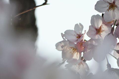 桜花通信 2011 2m DSC_4380-2-c.jpg