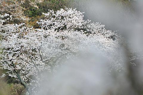 桜花通信 2011 7m DSC_4385-2-c.jpg