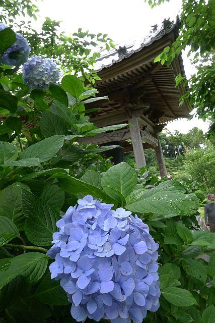 紫・陽・花 2011 1L P1030022-2.jpg