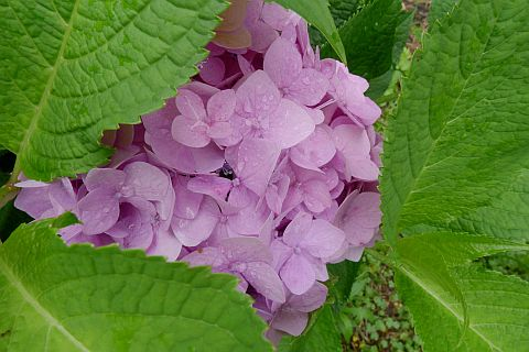 紫・陽・花 2011 5m P1030010-2.jpg