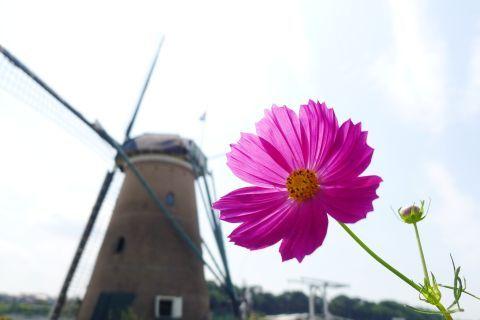 風車と秋桜 1 da8e7ddf.jpg