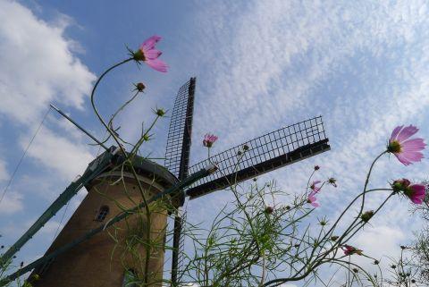 風車と秋桜 5 80978d56.jpg